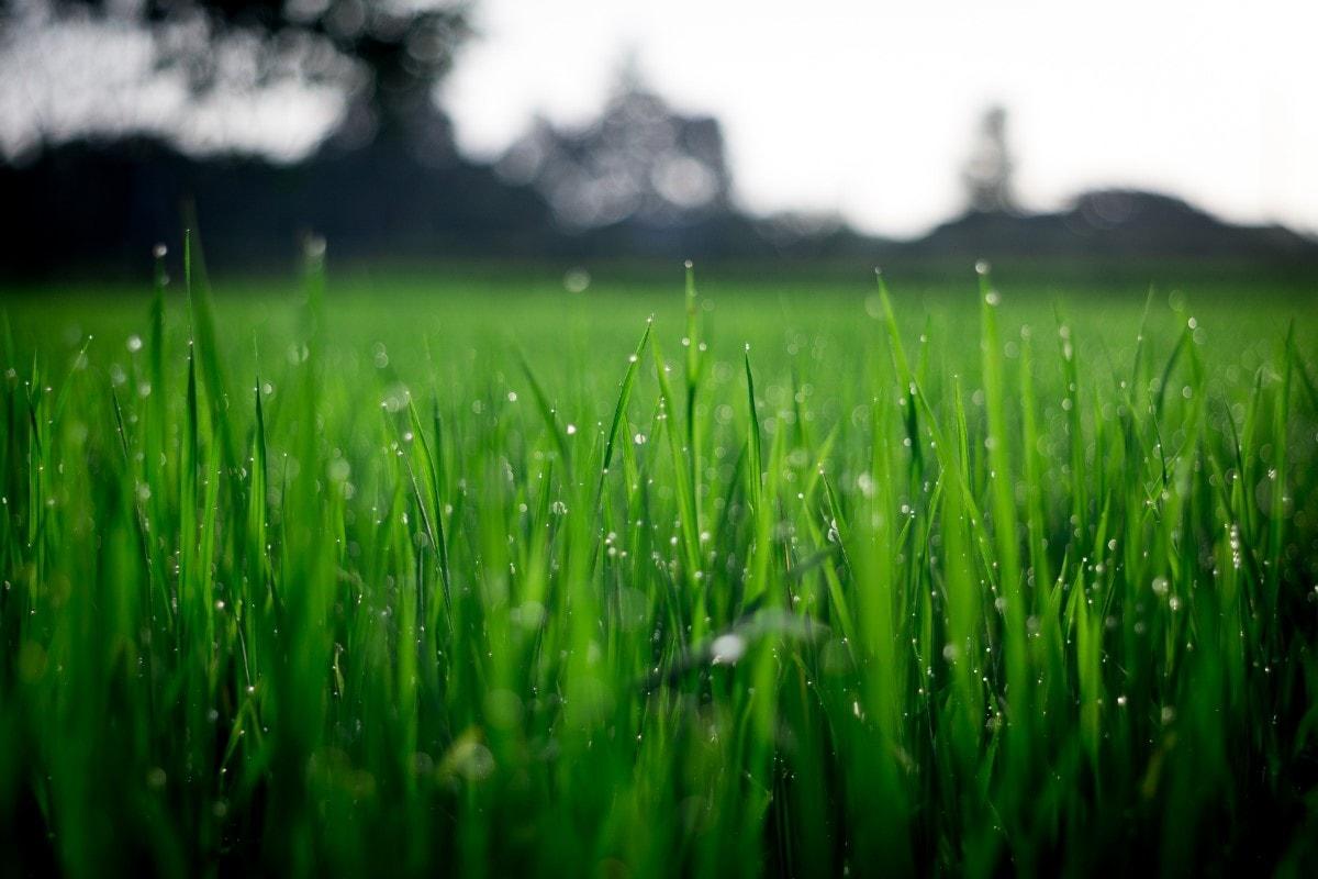 piękny trawa